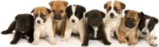 Jrt_mix_puppies_nh2j